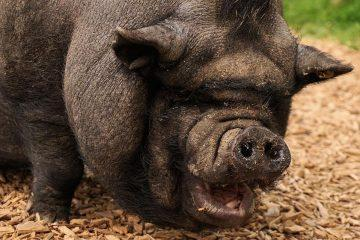 America-The-Pig-Public-Domain